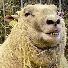 Why do sheep get horny in winter? Because the light is baaad, says study |  Animals | The Guardian